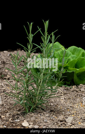 Rosmarinus officinalis, commonly known as rosemary, is a woody, perennial herb with fragrant, evergreen, needle - Stock Photo