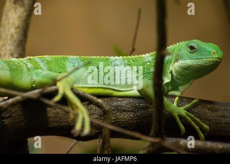 Fidschi-Leguan, Gecko, green gecko, green leguan, green iguana - Stock Photo