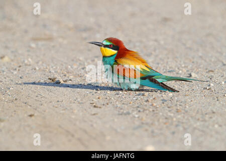 Adult European Bee-eater (Merops apiaster) in Northern Greece - Stock Photo