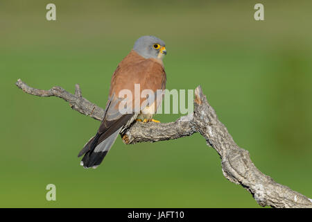 Lesser Kestrel (Falco naumanni), adult, male on branch, Extremadura, Spain - Stock Photo