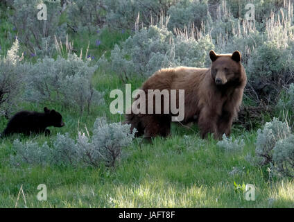 American Black Bear Female Sow with baby cubs in Yellowstone National Park,  Wyoming - Stock Photo
