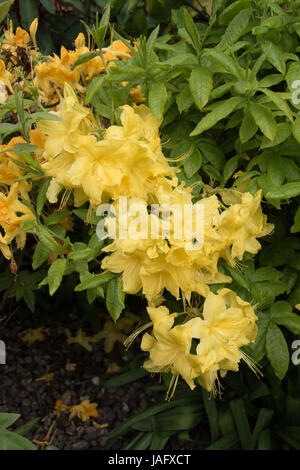 scented yellow azaleas - Stock Photo