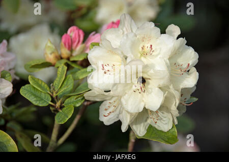 Rhododendron 'Percy Wiseman' - Stock Photo