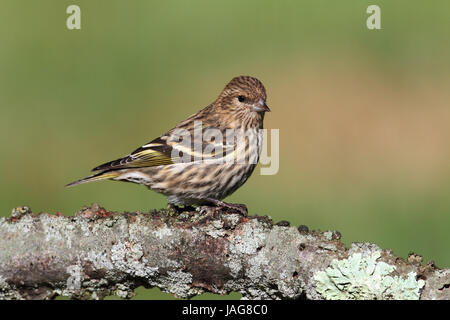 Pine Siskin (Carduelis pinus) perched on a pine branch - Stock Photo