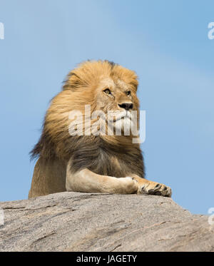 Portrait of a large male Lion on top of a rock in Tanzania's Serengeti National Park