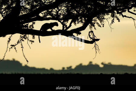 Adult Leopard resting in a tree at sunrise in Tanzania's Serengeti National Park - Stock Photo