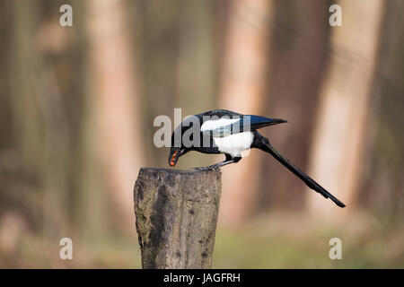 Magpie Pica pica feasting on nuts - Stock Photo