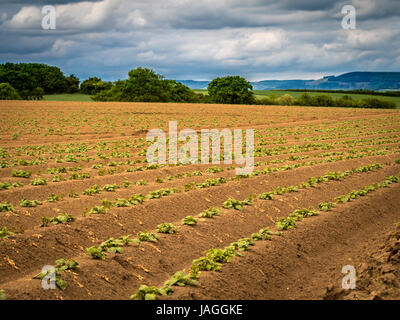 Potato plants growing in field, North Yorkshire, UK. - Stock Photo