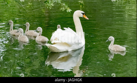 A swan and her six cygnets on Tom Thumb lake at Eastbrookend Country Park - Stock Photo