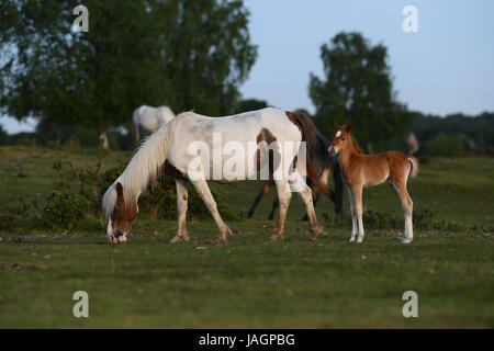 A young foal stands next to his grazing mother - Stock Photo