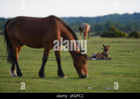 A young foal sits next to his grazing mother on Canada Common on the border of the New Forest National park - Stock Photo