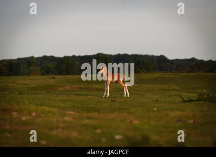 A young Foal explores Canada Common on the edge of the New Forest national park - Stock Photo