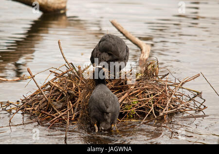 Pair of Coots building a nest on Linlithgow Loch - Stock Photo