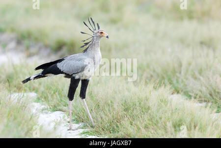 Sub - adult Secretary Bird in the Savuti area of Chobe National Park in Botswana - Stock Photo