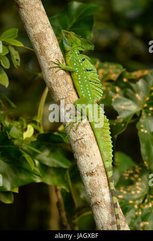 Plumed Basilisk lizard (Basiliscus plumifrons) male resting on branch, Costa Rica, March - Stock Photo