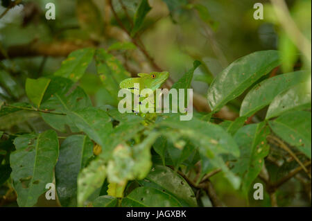 Plumed Basilisk lizard (Basiliscus plumifrons) male peeking up above vegetation, Costa Rica, March - Stock Photo