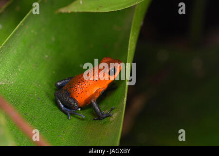 Strawberry Poison-dart Frog (Dendrobates pumilio) blue jeans colour morph, sat on leaf, Costa Rica, March - Stock Photo