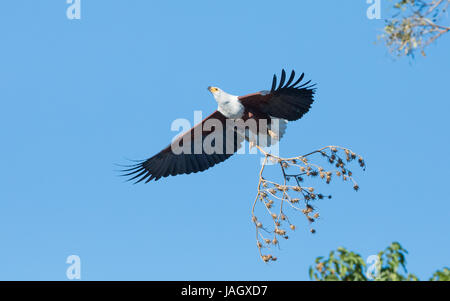 African Fish Eagle flying with nesting material, Chobe River, Botswana - Stock Photo
