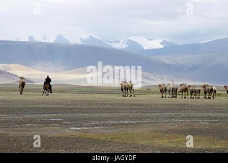 Mongolia,extreme west province,Bayan Olgii province,Tsambagarav national park,camels,bleeds, - Stock Photo