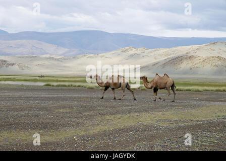 Mongolia,extreme west province,Bayan Olgii province,Tsambagarav national park,camels, - Stock Photo
