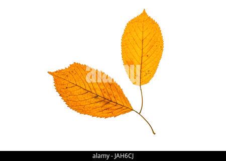 Fallen autumn leafs isolated on white - Stock Photo
