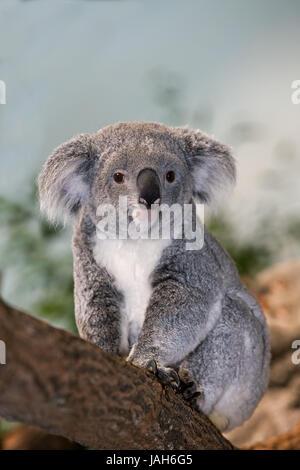 Koala,Phascolarctos cinereus,females,sit,branch, - Stock Photo