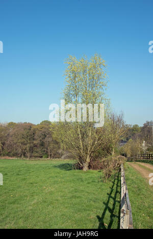 Salix osier, the common willow. - Stock Photo
