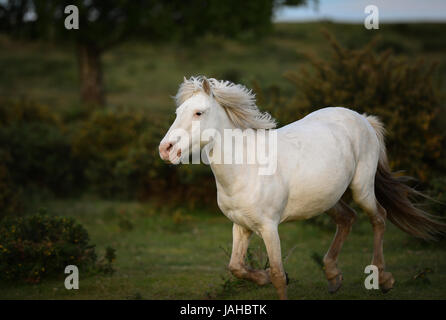 Wild New Forest ponies gallop through gorse bushes - Stock Photo