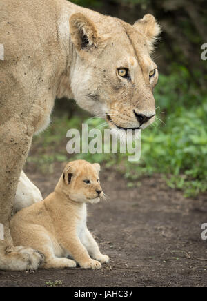 Adult Lioness protecting her 5 week old cub, Serengeti National Park, Tanzania - Stock Photo