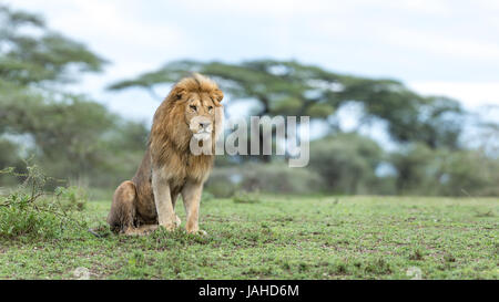 Adult male Lion sitting up in alert posture in the Ndutu area of Tanzania's Ngorongoro conservation area - Stock Photo