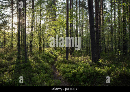 Evening at a lush and verdant forest in Finland in the summertime. - Stock Photo
