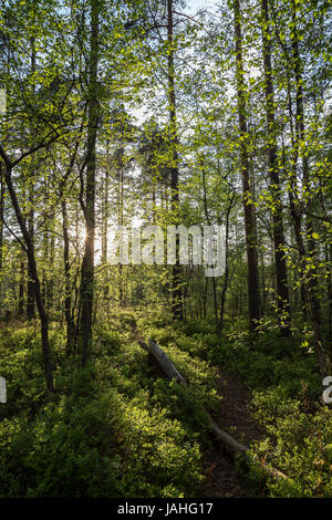 Path, tree trunk, trees and sunshine at a lush and verdant forest in Finland in the summertime in the evening. - Stock Photo