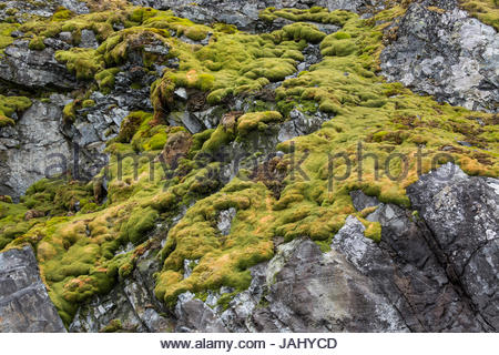 Moss on a rock wall at Paradise Bay, also known as Paradise Harbor, Antarctica. - Stock Photo