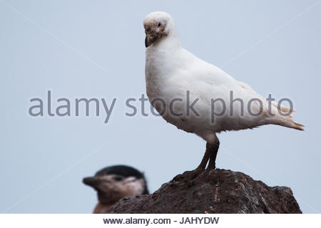 A snowy sheathbill, Chionis albus, scavenging in a chinstrap penguin rookery. - Stock Photo