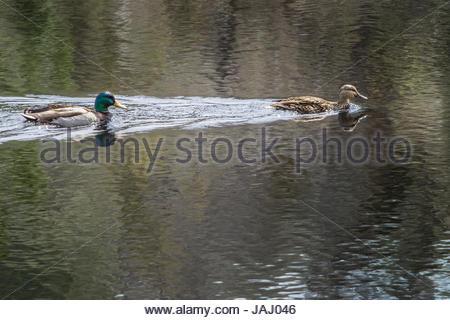 A pair of mallard ducks, Anas platyrhynchos, swimming in gently rippled water. - Stock Photo