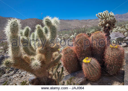 Jumping cholla cacti, Cylindropuntia bigelovii, left, and blooming barrel cacti, in the Anza-Borrego Desert. - Stock Photo