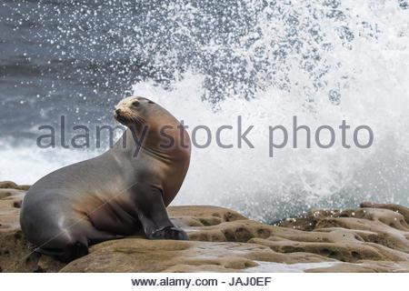 Portrait of a California sea lion, Zalophus californianus, basking in the surf. - Stock Photo