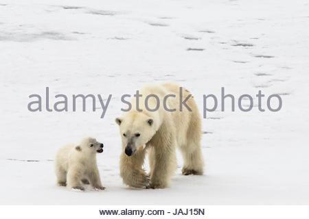 A polar bear, Ursus maritimus, and her cub. - Stock Photo