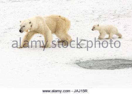 A polar bear, Ursus maritimus, and her cub. The mother bear wears a radio tracking collar. - Stock Photo