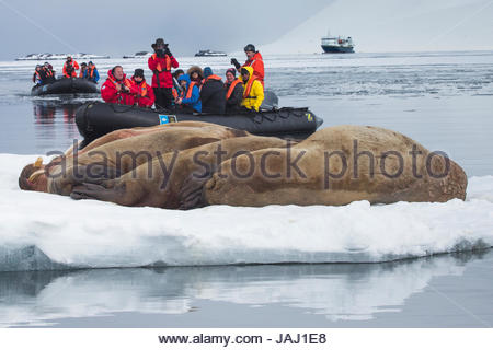 Tourists from the National Geographic Explorer, in far distance, observe five male walruses, Odobenus rosmarus, - Stock Photo
