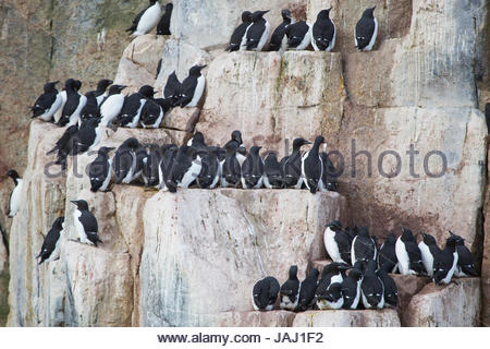 Thick-billed murres, or Brunnich's guillemots, Uria lomvia, living in a colony on the cliffs at Kapp Fanshawe. - Stock Photo