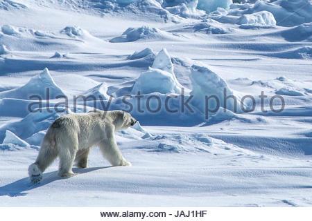 A polar bear, Ursus maritimus, on the pack ice in Hinlopenstretet. - Stock Photo