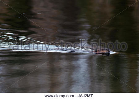 A North American beaver, Castor canadensis, swimming in the Snake River. - Stock Photo