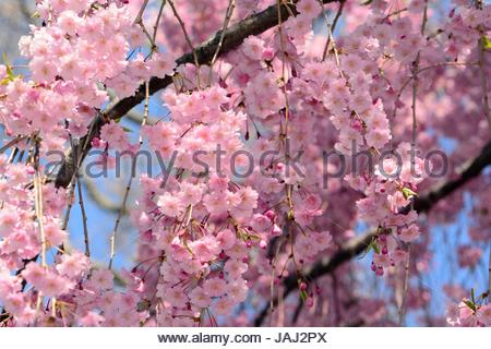 A massive floral display in a weeping higan cherry tree, in spring. - Stock Photo