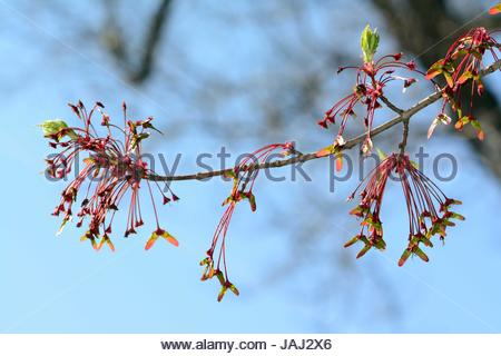A fruiting branch of a red maple, Acer rubrum, in spring. - Stock Photo