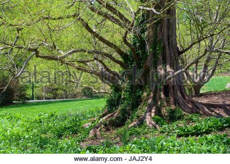 A dawn redwood tree, Metasequoia glyptostroboides, leafing out in spring. - Stock Photo
