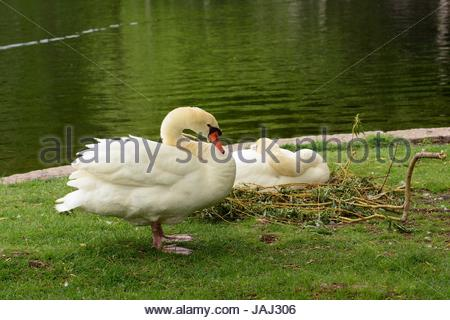 A nesting pair of mute swans, Cygnus olor, in the Public Garden. - Stock Photo