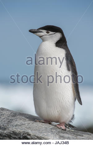 Portrait of a Chinstrap penguin, Pygoscelis antarcticus, on rock. - Stock Photo