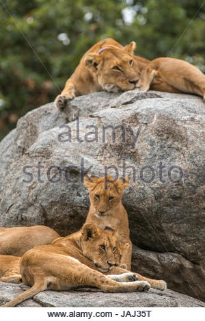 Lioness, Panthera leo, resting on a rock with her cubs. - Stock Photo