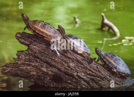 Crowned river turtle also known as  Brahminy river turtle, (Hardella thurjii), Keoladeo Ghana National Park, Bharatpur, - Stock Photo